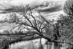 The fallen tree (stewartl2010) Tags: uk england blackandwhite tree water monochrome fence river landscape countryside sheep cloudy unitedkingdom bank fallen gb salisbury brooding wiltshire avon nikfilters townpath silverefexpro