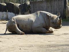 "Ostafrikanisches Spitzmaulnashorn ""Usoni"" (1,0) (Chriest) Tags: zookrefeld dicerosbicornismichaeli ostafrikanischesspitzmaulnashorn"