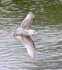 Mew Gull (K Schneider) Tags: gull first cycle mew larus canus brachyrhynchus