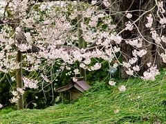 IMGP0053_1 (tetsu_m_320i) Tags: japan sakura fullbloom