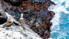 Puerto Baquerizo Moreno, San Cristbal, Galapagos (ser_is_snarkish) Tags: galapagos bluefootedboobies sancristbal puertobaquerizomoreno