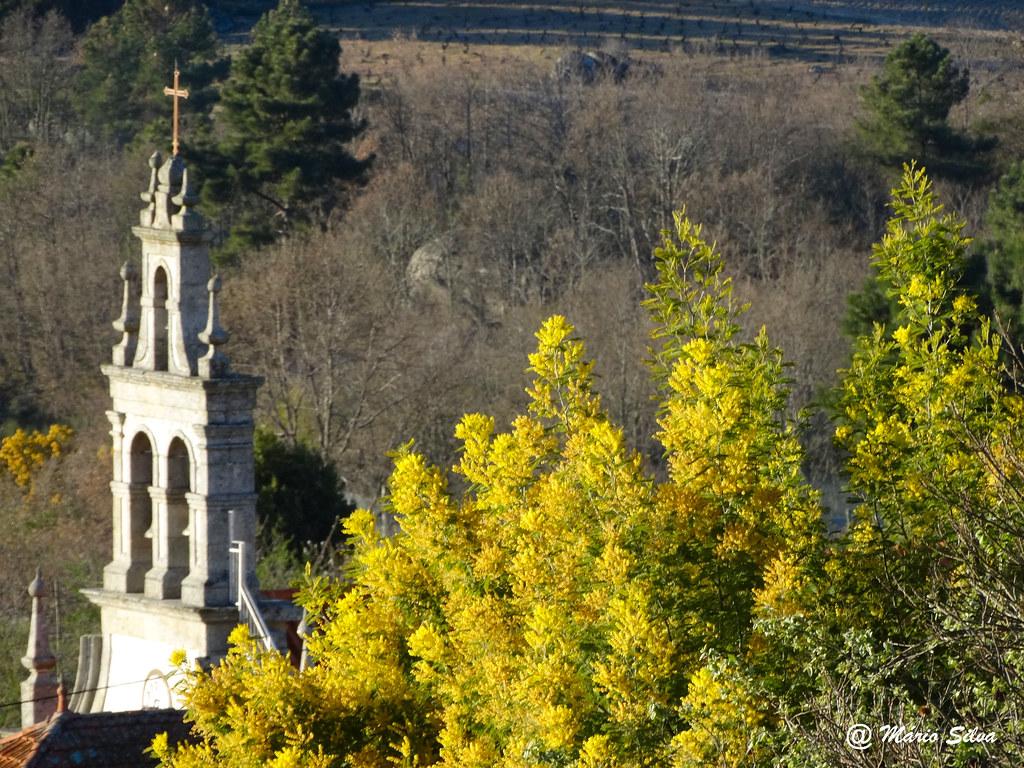 Águas Frias (Chaves) - ... A torre da igreja e as mimosas