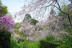 20160410-DSC_7557.jpg (d3_plus) Tags: sky plant flower history nature japan trekking walking temple nikon scenery shrine bokeh hiking kamakura fine daily bloom  28105mmf3545d nikkor    kanagawa   shintoshrine   buddhisttemple dailyphoto sanctuary   thesedays kitakamakura  28105   fineday   28105mm  holyplace historicmonuments  zoomlense ancientcity        28105mmf3545 d700 281053545 nikond700  aiafzoomnikkor28105mmf3545d 28105mmf3545af aiafnikkor28105mmf3545d