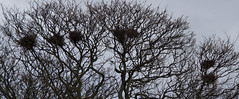 Grove Crows (ajax_pc) Tags: grove crows nests