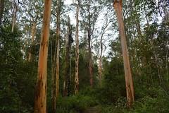 Grey Gums, Bald Knob State Forest (dustaway) Tags: trees nature forest australia bark nsw eucalyptus trunks myrtaceae clarencevalley northernrivers greygum australiantrees wetsclerophyllforest eucalyptuspropinqua northcoastbotanicalsubdivision baldknobstateforest