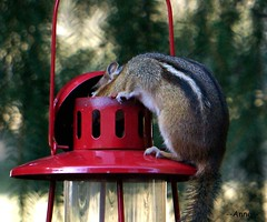 Breaking in to the Bird Feeder (--Anne--) Tags: cute nature animals wildlife birdfeeder seeds chipmunk stealing chipmunks