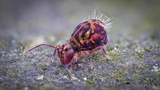 Dicyrtomina ornata (Kugelspringer) Collembola
