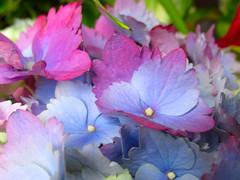 Multicolored Hydrangea (vickilw) Tags: flower hydrangea multicolored project36588 201636688