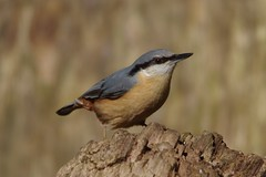 IMGP5825 Nuthatch, Lackford Lakes, March 2016 (bobchappell55) Tags: wild bird nature woodland suffolk wildlife lakes reserve trust nuthatch damp lackford