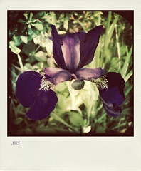 Wild Iris (jeanne.marie.) Tags: iris spring purple symmetry squareformat wildflowers iphoneography hipstamatic iphone5s polamatic image61100 100xthe2016edition 100x2016