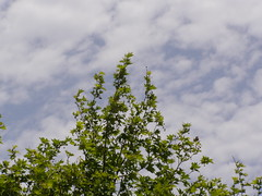 (Psinthos.Net) Tags: sky tree nature clouds easter countryside spring day bluesky april sunnyday planetree   lightclouds orthodoxeaster vrisi   psinthos               vrisiarea  vrisipsinthos  easter2016