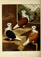 n361_w1150 (BioDivLibrary) Tags: pigeons fieldmuseumofnaturalhistorylibrary bhl:page=49799229 dc:identifier=httpbiodiversitylibraryorgpage49799229