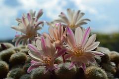 Cactus (AndyorDij) Tags: uk flowers cactus england plants unitedkingdom rutland 2016 empingham