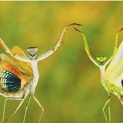 #happydance #grasshopper (carolyn2007###) Tags: grasshopper happydance
