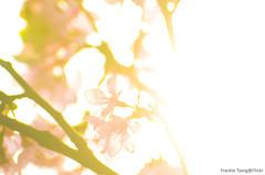 DSC_8595 (Frankie Tseng ()) Tags: park pink flowers sunset sky bw flower silhouette photography 50mm blackwhite nikon outdoor flash sunny tokina cherryblossoms fade nikkor 70300mm tamron 90mm f8 1224mm f28 f4 1870mm bwphotography blackwhitephotography portraitphotography outdoorportrait sb900 yongnuo outdoorportraitphotography yn568