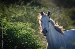 _DSC8680 (Izaias Lus) Tags: brasil caballos photography photographie cavalos equestrian equine nordeste chevaux equino haras equestre garanhunspe