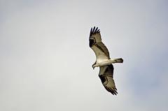 Osprey (polaski2282) Tags: swamp wetlands marsh osprey pandionhaliaetus fisheagle fishhawk seahawk riverhawk orlandowetlands