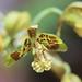 4Q4B4254_Graphorkis concolor var_ alphabetica (Fleur)