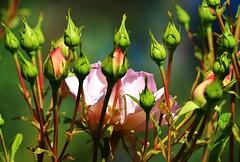 April23image5346 (Michael T. Morales) Tags: flowers rose garden buds rosebuds