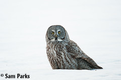 GG84 (Sam Parks Photography) Tags: winter snow bird animal horizontal rockies spring wings nocturnal adult wildlife feathers meadow aves greatgreyowl mature raptor valley rockymountains prey wyoming greatgrayowl phantom predator pounce carnivorous jacksonhole avian birdofprey carnivore tetonrange strigiformes predatory strixnebulosa predation gye pouncing strigidae grayghost greateryellowstoneecosystem