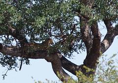Leopard (little_duckie) Tags: africa southafrica buffalo zebra cheetah giraffe impala hyena rhinoceros krugernationalpark kruger gamedrive kudu bushbuck