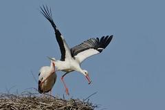 Ich bringe den Mll fort (frodul) Tags: bird start deutschland nest outdoor wildlife natur paar hannover ni horst stork vogel storch flgel frhjahr abflug ciconiaciconia federkleid weisstorch