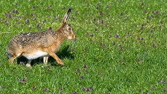 I Can't Dance! (Alfred Grupstra Photography) Tags: flowers nature hare nederland nl clover noordholland oostwoud