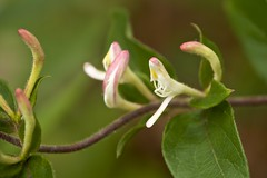 a blooming vine (Pejasar) Tags: flowers macro oklahoma garden spring blossoms vine foliage tulsa blooming