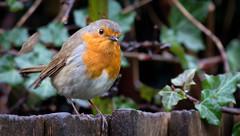 Raining Robin (cuppyuppycake) Tags: bird nature robin fence nikon outdoor d7200