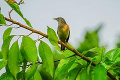 Sturnus malabaricus,灰頭倞鳥 (隆大爺) Tags: sturnus malabaricus 衛武營 灰頭倞鳥