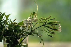 Yaseminler (Jasminum) (Hseyin Baaolu) Tags: stilllife plant flower turkey trkiye turquie troia naturemorte iek biga turkei dardanel anakkale natrmort yaknplan nikon100mmf28seriese pegai nikond300s hseyinbaaolu huseyinbasaoglu dthseyinbaaolu meddenthuseyinbasaoglu