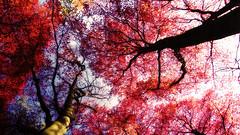 Scarlet canopies (Nils van Rooijen) Tags: red plants tree nature forest nijmegen spring tuin leafs hortus beech fagus rode canopies sylvatica beuk botanische