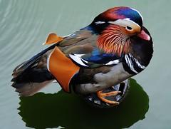 Mandarinente (   flickrsprotte  ) Tags: zoo hannover tierpark ente tier vogel mandarinente