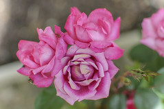 Three Roses !! (Filsa Bint Ahmed) Tags: pink flowers roses leaves closeup bug garden virginia petals ant richmond knockout bud bubblegum blooms sunnyday 35mmf18glens spring2016
