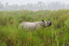 KAZ_264 (soggy_3_16) Tags: birds nikon wildlife rhino 70300 kaziranga d90