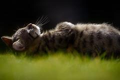'Fudge Sunbathing' (Jonathan Casey) Tags: cat nikon tabby f2 vr 200mm vr1 d810