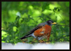 IMG_1261 A Bit Disheveled and on the Fence 4-22-16 (arkansas traveler) Tags: nature birds zoom bokeh memphis wildlife telephoto wildlifephotography bokehlicious naturewatcher