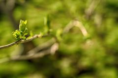 Lush Greens (flashfix) Tags: april252016 2016 2016inphotos nikon d7000 ottawa ontario canada 40mm outside spring green bokeh budding bud leaf nature mothernature macro vibrant growth lines branches tree lush flashfix flashfixphotography