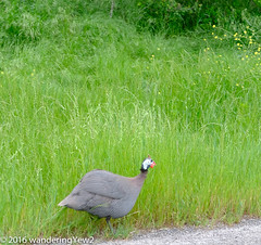 Texas 2016: Escaped(?) Helmeted Guineafowl #1 (wanderingYew2) Tags: bird texas hillcountry guineafowl texashillcountry sansabacounty fujixpro2