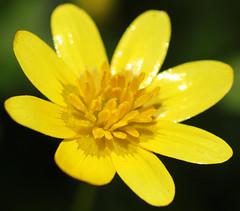 Lesser Celandine (Chris Kilpatrick (on holiday)) Tags: chris flower macro nature yellow canon spring outdoor douglas isleofman signsofspring lessercelandine springwatch canon60d