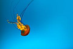 Jellyfish (Simon Varisto) Tags: blue water jellyfish