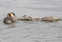 Feeding the young (christinaportphotography) Tags: wild fish bird water birds foot focus dof feeding young free australia nsw grebe greatcrestedgrebe podicepscristatus wallerawang