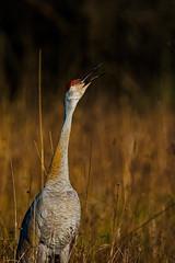 LonelyCall (jmishefske) Tags: park nature wisconsin franklin nikon crane center milwaukee april savannah prairie sandhill wehr 2016 whitnall halescorners d800e