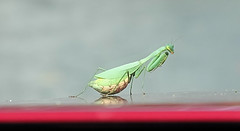 Mantis on the car bonnet (leah-nz) Tags: animal mantis insect outdoor
