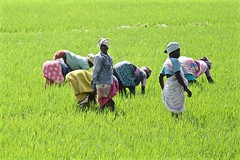 Field of Color (The Spirit of the World) Tags: india green colors field rural workers women colorful rice paddy working agriculture ricefields ricepaddy southernindia