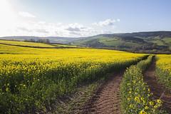 Endless 26/30 (rmrayner) Tags: landscape countryside spring farming devon valley oilseedrape osr 2630 april2016amonthin30pictures