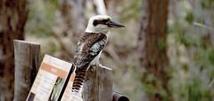 Kookabrra (David_Oliver) Tags: bird nationalpark outdoor southaustralia kookaburra mambraycreek mtremarkable parkssa