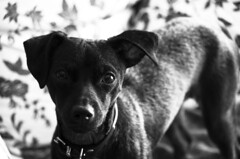 Envie de sortir ! (feelnoxx) Tags: blackandwhite dog chien noiretblanc pinscher
