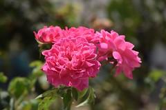 #pink #roses #flowers #photography (raj lokhande) Tags: pink flowers roses photography