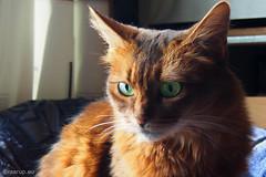 Contrasting colours - # Happy Caturday (Finn Frode (DK)) Tags: pet cats animal contrast cat pose denmark indoor olympus greeneyes som somali somalicat caithlin happycaturday omdem5 dusharacathalcaithlin ruddyfur